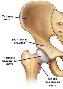Анатомическое строение тазобедренного сустава